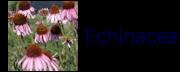 Echinacea_BA001a