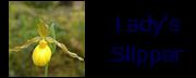 ladysslipper