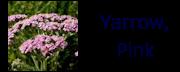 yarrowpink