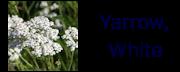 yarrowwhite