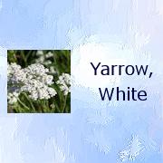 yarrowwhite_BAA001a