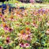 エキナセアが育つ自然園