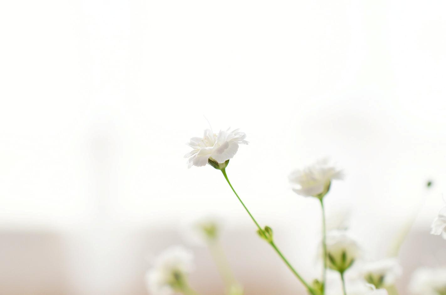 白く美しいかすみ草
